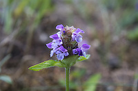 Self-heal (also known as heal-all) is a common North American wildflower and member of the mint family that is found all over North America clear up to the Arctic Circle, as well as Europe (including Britain) from Norway south and east to North Africa and temperate Asia. It is used for a variety of uses in many countries across the globe: it can be eaten fresh as a salad or cooked in soups and stews, a refreshing tea or as a olive-green dye. Medicinally, it is used for the treatment of wounds, ulcers, sores and is known to have antibacterial properties. This one was found growing at the top of Hurricane Ridge in Washington's Olympic Mountains.