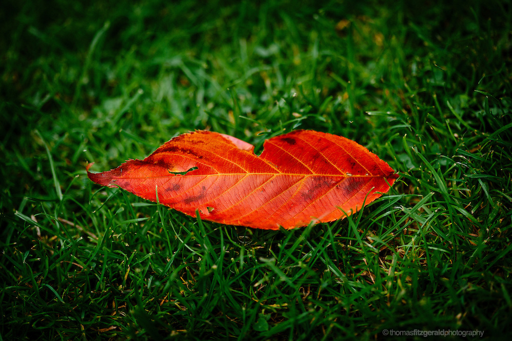 A red fallen leaf lands on a green grassy backdrop. The shape and colours of the fallen autumn leaf resemble a set of red lips on the green grass backdrop