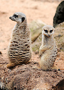 AUSTRALIA - SYDNEY  Meerkats sit up at Taronga Park Zoo, Sydney  03/01/2010. STEPHEN SIMPSON...