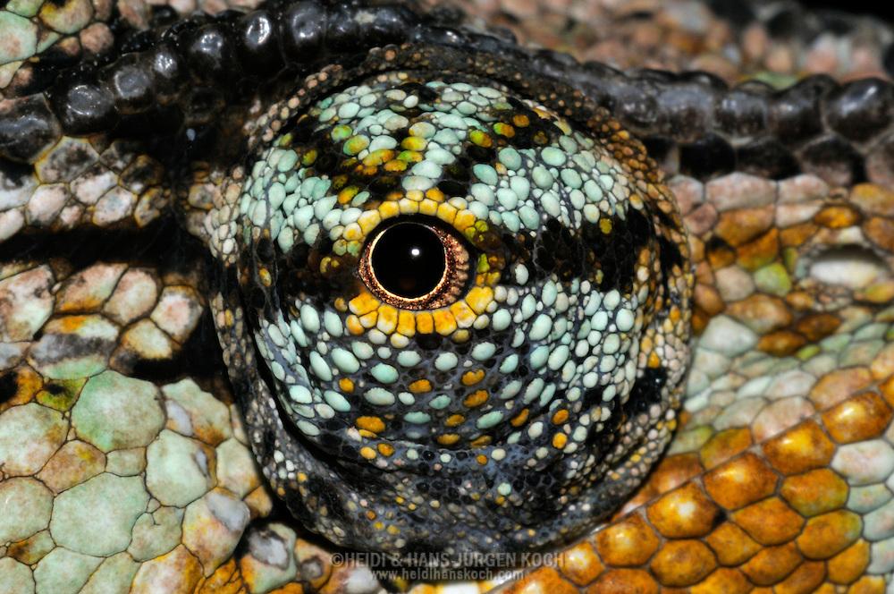 DEU, Deutschland: Auge eines Jemenchamaeleon (Chamaeleo calyptratus), Augentyp: Linsenauge; die Augen des Chamaeleon gehoeren zu den am hoechst entwickelten im Tierreich; sie sind aus der Kopfoberflaeche weit hervorgetreten und ermoeglichen so einen Blickwinkel von über 90° vertikal und 180° horizontal;  zudem sind sie unabhaengig von einander beweglich, was ermoeglicht gleichzeitig nach Vorne und Hinten zu blicken; Augengroesse ca.3 mm; Krefeld, Nordrhein-Westfalen | DEU, Germany: Eye of a Veiled Chameleon (Chamaeleo calyptratus), type of eye: lens eye; chameleons having one of the highest developed eyes in the animal world, the eyes bulging and so the visual angle amount 90 degree vertical and 180 degree horizontal and the eyes independently rotating, so they can looking forward and backward at the same time, size of eye circa 3 mm; Krefeld, North Rhine-Westphalia