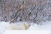 Polar bear in snow during storm<br /> Churchill<br /> Manitoba<br /> Canada