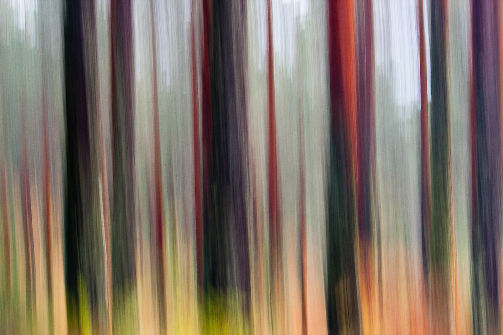 Abstract rendition of pine trunks