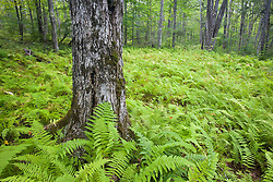 Ferns carpet the understory of a sugar maple forest on Sugar Island Maine USA