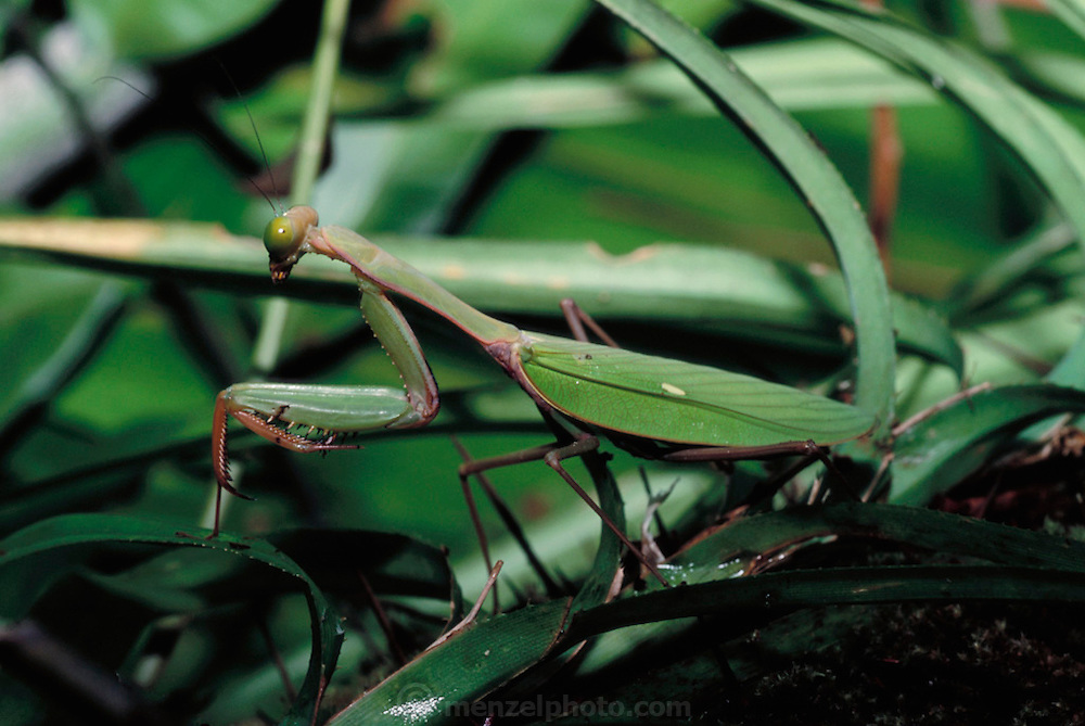 A praying mantis in the forest near Komor village in the Asmat swamp, Irian Jaya, Indonesia. (not eaten for food). Image from the book project Man Eating Bugs: The Art and Science of Eating Insects.