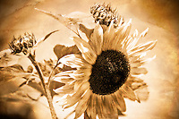 The beauty of a young sunflower in weathered sepia tones.