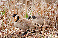 Canadian Geese pair prepares a nesting spot.