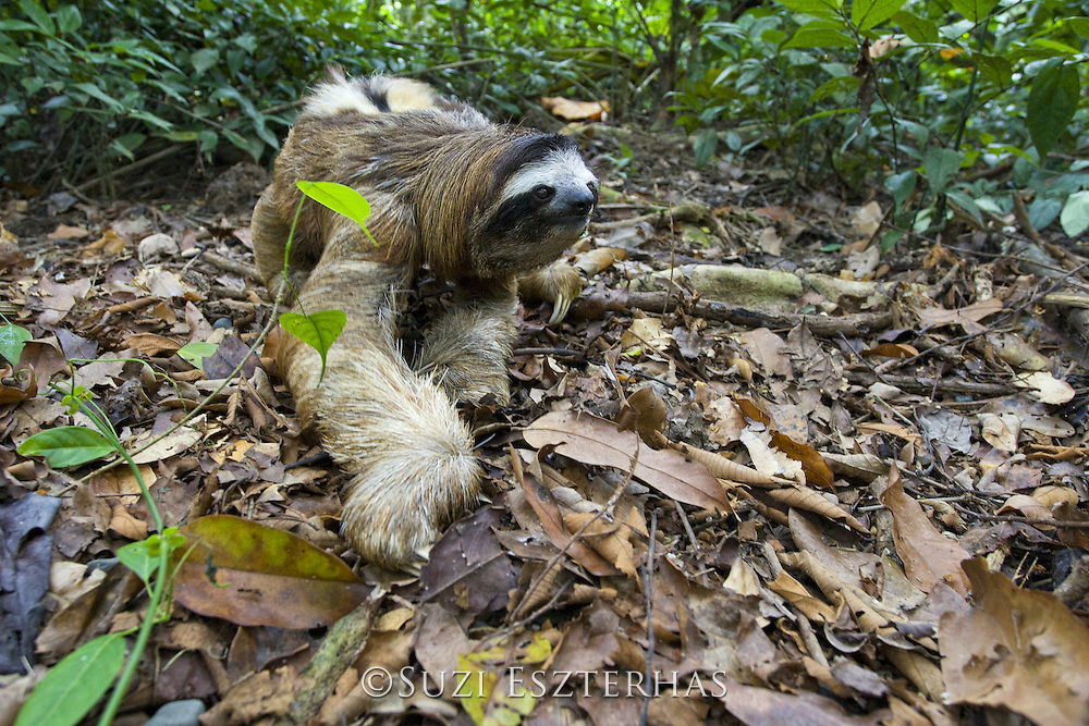 Brown-throated Three-toed Sloth <br /> Bradypus variegatus<br /> Male walking on forest floor<br /> Aviarios Sloth Sanctuary, Costa Rica<br /> *Rescued and in rehabilitation program