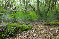 woodland growing on damp ground alongside a raised bog, with moss and birch