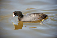 American Coot (Fulica americana) swimming, George C. Reifel Migratory Bird Reserve, Vancouver , British Columbia, Canada