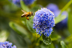 © Licensed to London News Pictures. 08/05/2020. London, UK. A bumblebee collects pollen from Ceanothus commonly known as Californian lilac on a warm day in the capital. Photo credit: Dinendra Haria/LNP