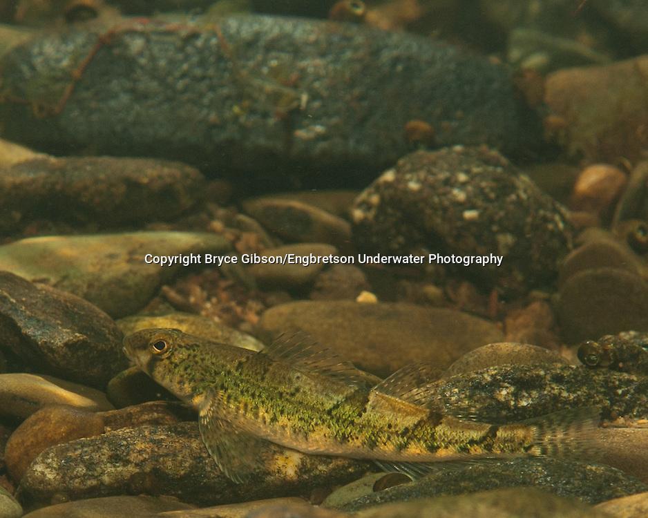 Snail Darter<br /> <br /> Bryce Gibson/Engbretson Underwater Photography