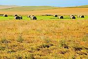 Lentils. Green<br /> Webb<br /> Saskatchewan<br /> Canada