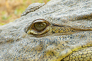 American Crocodile <br /> Crocodylus acutus <br /> San Blas, Nayarit, Mexico<br /> 7 June     Eye of adult.      Crocodylidae