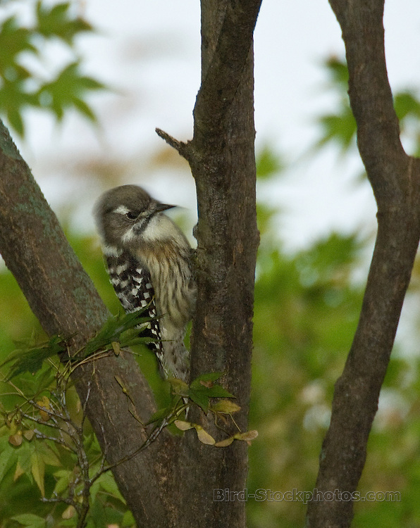 Japanese Pygmy Woodpecker, Dendrocopos kizuki, Japan, by Owen Deutsch