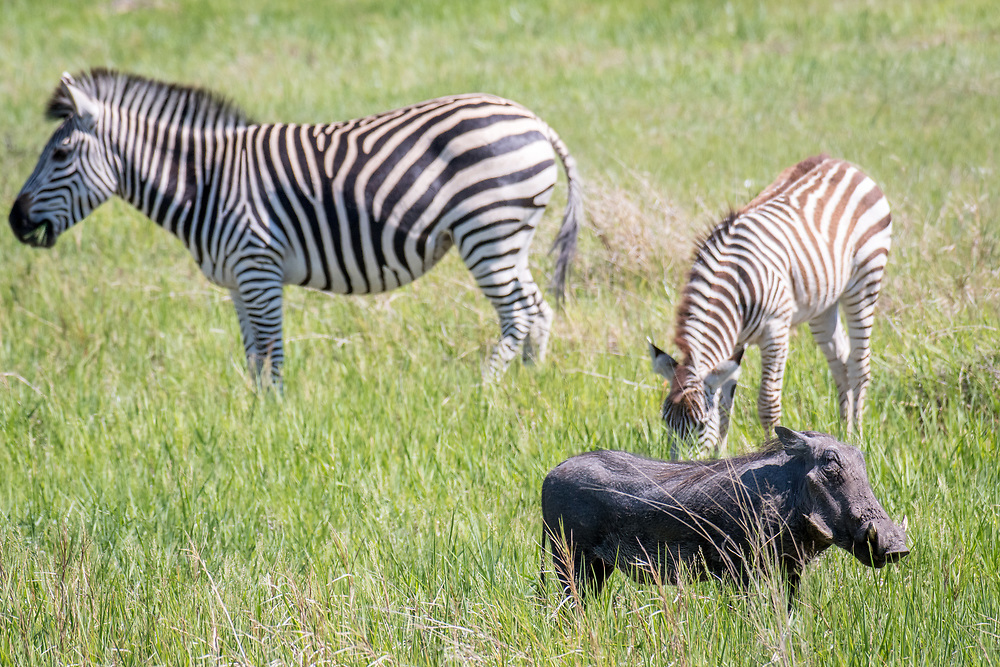 Zebras graze on the grasslands of the savanna alongside a warthog in Hwange National Park. Hwange, Zimbabwe.