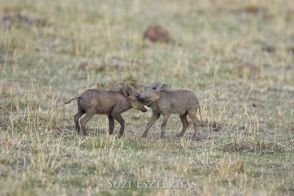 AFRICAN WART HOG <br /> Phacochoerus aethiopicus<br /> Young piglets playing<br /> Masai Mara Reserve, Kenya