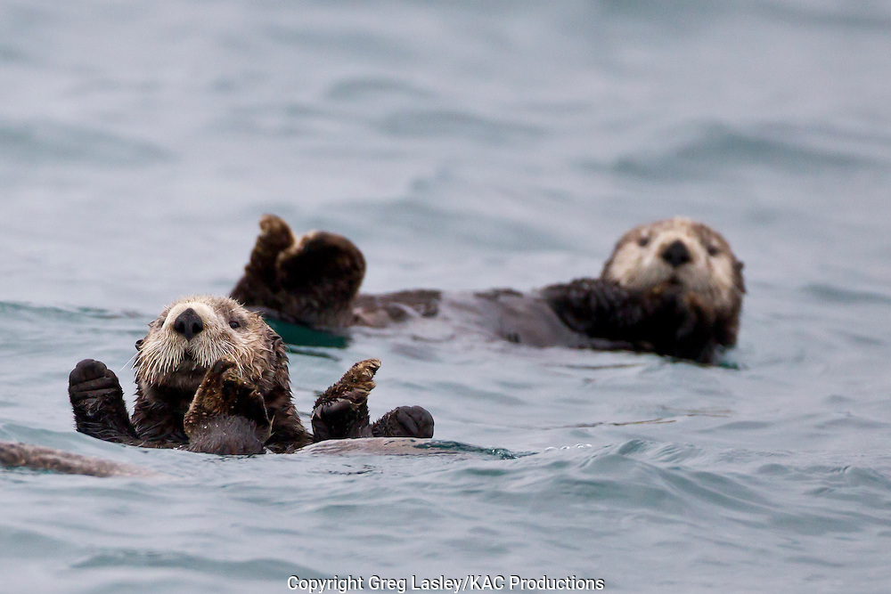 Sea Otter<br /> Enhydra lutris<br /> near Seward,<br /> Alaska<br /> 9 June 2012<br /> 60.0739<br /> -149.4242