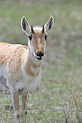 USA, Wyoming, Female Pronghorn Antelope, Yellowstone National Park
