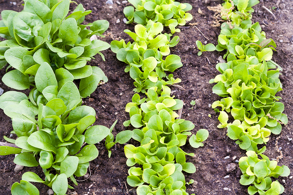 Bright direct-sown spinach and lettuce seedlings in the garden in early spring.