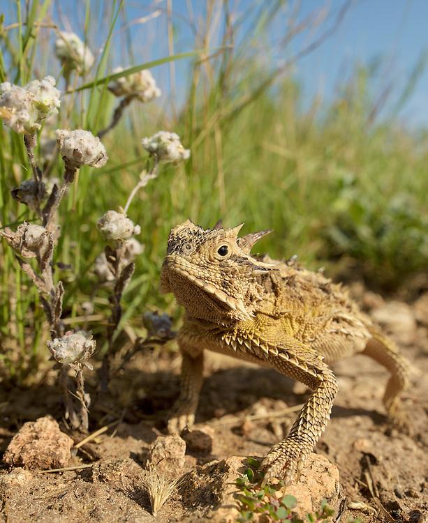 Texas Horned Lizard, Phrynosoma cornutum;<br /> Photographer:  Robert Rommel <br /> Property:  Sick Dog Ranch / Mitchell &amp; Dianne Dale, Michael Dale<br /> Jim Wells County