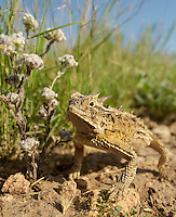 Texas Horned Lizard, Phrynosoma cornutum;<br />