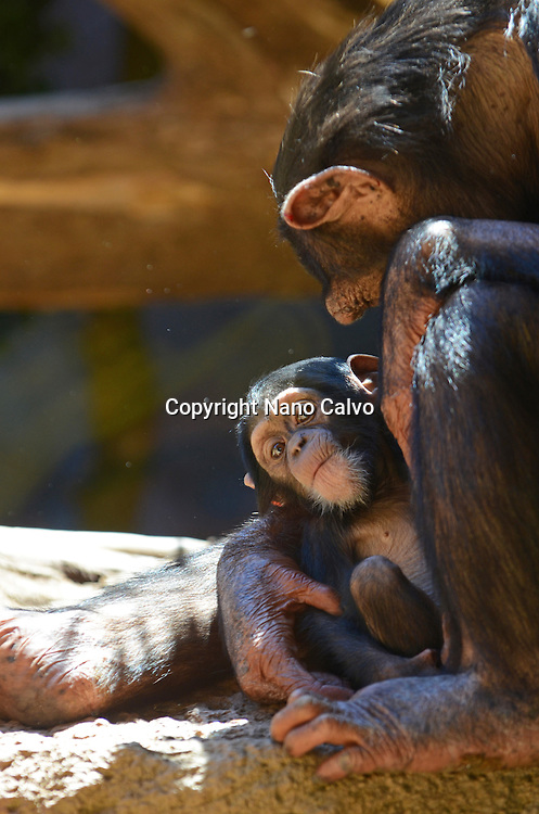 Captive chimpanzee hugging new born baby | NANO CALVO
