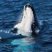 Two humpback whales playing and breaching for an extended period. One of the whales had a white pectoral fin, the 7th for the season 201207.