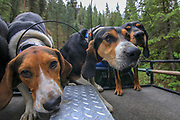 Walker and Black & Tan hounds during a 2019 Idaho spring black bear hunt