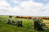John L. Moore, crew, family, neighbors, gathering, cattle branding, Red Angus/Tarentaise cross, Lazy TL Ranch, north of Miles City Montana