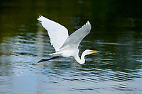 Great Egret (Ardea alba) in flight above Lake Chapala, Jocotopec, Jalisco, Mexico