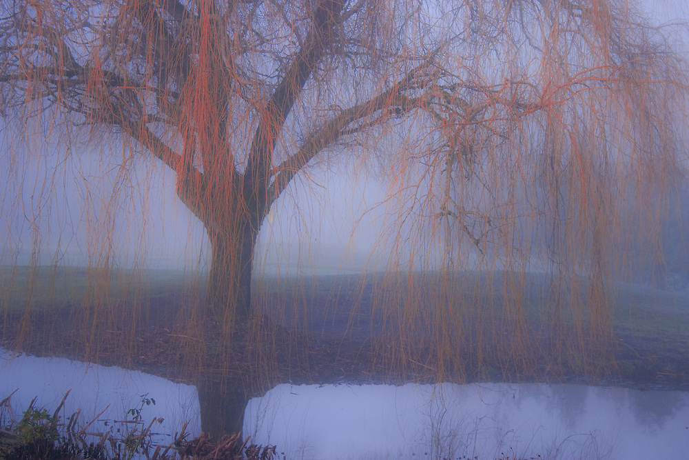 Willow tree hovers above early morning mist, pond below