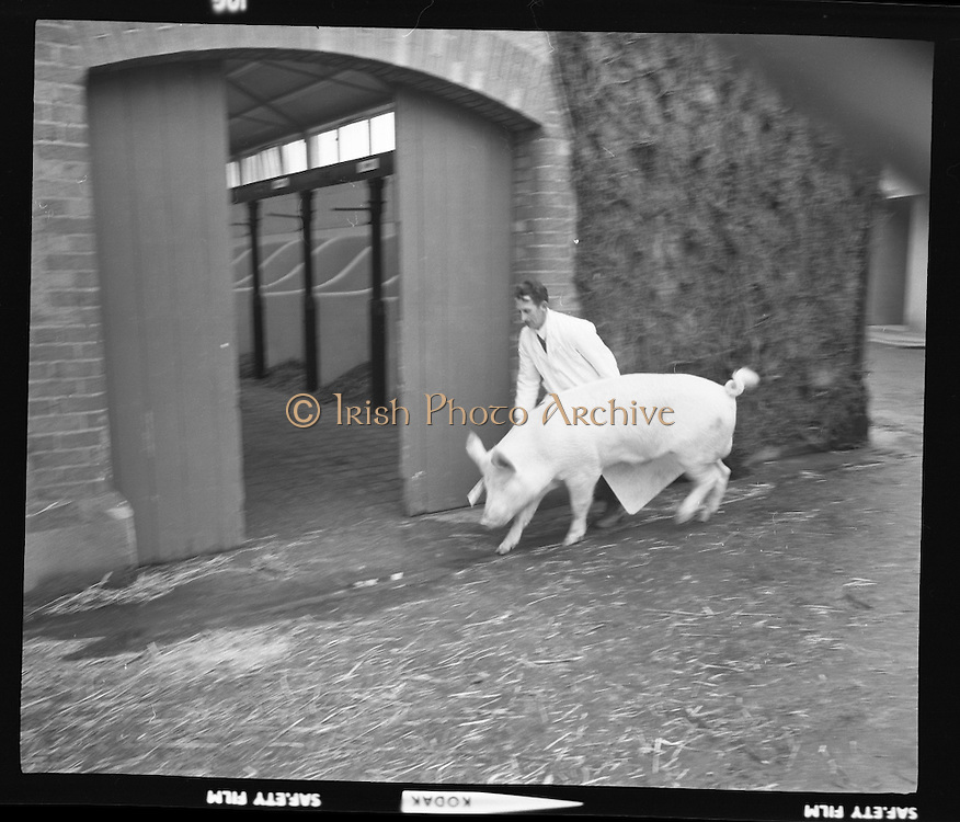 R.D.S. Bull Show..1971..16.02.1971..02.16.1971..16th February 1971..The Royal Dublin Society (RDS) Bull Show got under way in Dublin today with the judging of Hereford, Friesian and Aberdeen Angus bulls. As well as the judging of bulls there was also a competition for Irish large White and Landrace pigs..A picture of a large white pig being moved,by its handler, into the judging ring.