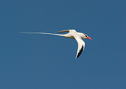 Red-billed Tropicbird (Phaethon aethereus) in flight, Galapagos, Equador