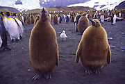 King penguin chicks in fluff before molting to adult plummage, South Georgia Island, Antarctica