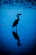 Blue Water - Snowy Egret - Merritt Island National Wildlife Refuge, Florida Edition of 100 EXP0330