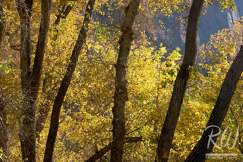Cottonwood Trees With Yellow Fall Foliage Colors, Zion National Park, Utah