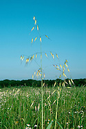 WILD-OAT Avena fatua Height to 1m. Distinctive annual of arable crops, also found on waste ground. FLOWERS are borne in an inflorescence comprising an open array of stalked, dangling spikelets each of which is shrouded by the glumes, and has a long awn (Jun-Aug). FRUITS are small, dry nutlets. LEAVES are dark green, broad and flat. STATUS-Widespread and common.
