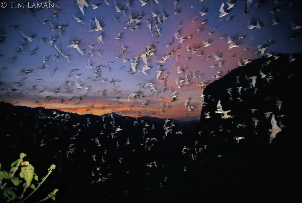 Thousands of wrinkled-lipped bats fly out of a cave at dusk.