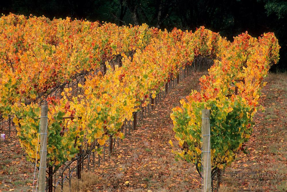 Vineyards in fall, near Philo, Anderson Valley, Mendocino County, California