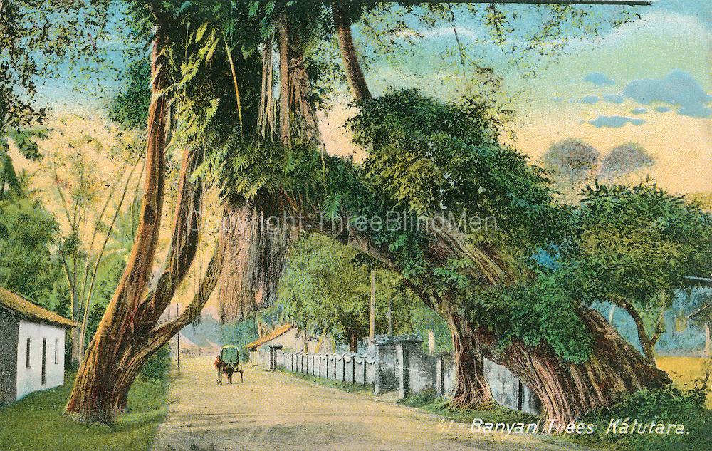 Old Postcard. Banyan Tree at Kalutara.