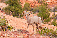 A close-up of a desert bighorn ram in Zion National Park in Southern Utah. I was hiking through the hills when in the early evening I came upon a large group of about thirty individuals, including other rams, ewes, and lambs. It took me an hour to get this close for this shot.