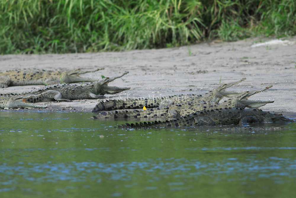 American Crocodiles (Crocodylus acutus) gaping to cool body temperature.  River Tempisque, Guanacaste, Costa Rica. <br />