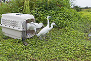 Snowy Egret<br /> Egretta thula<br /> Released by volunteers of The Bird Rescue Center<br /> Santa Rosa, California