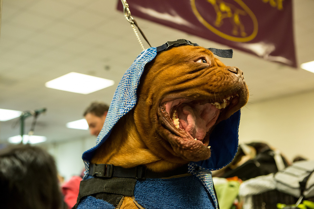 New York, NY - 16 February 2016. A Dogue de Bordeaux wearing a blanket in the benching area of the 140th Westminster Kennel Club Dog show in Madison Square Garden.