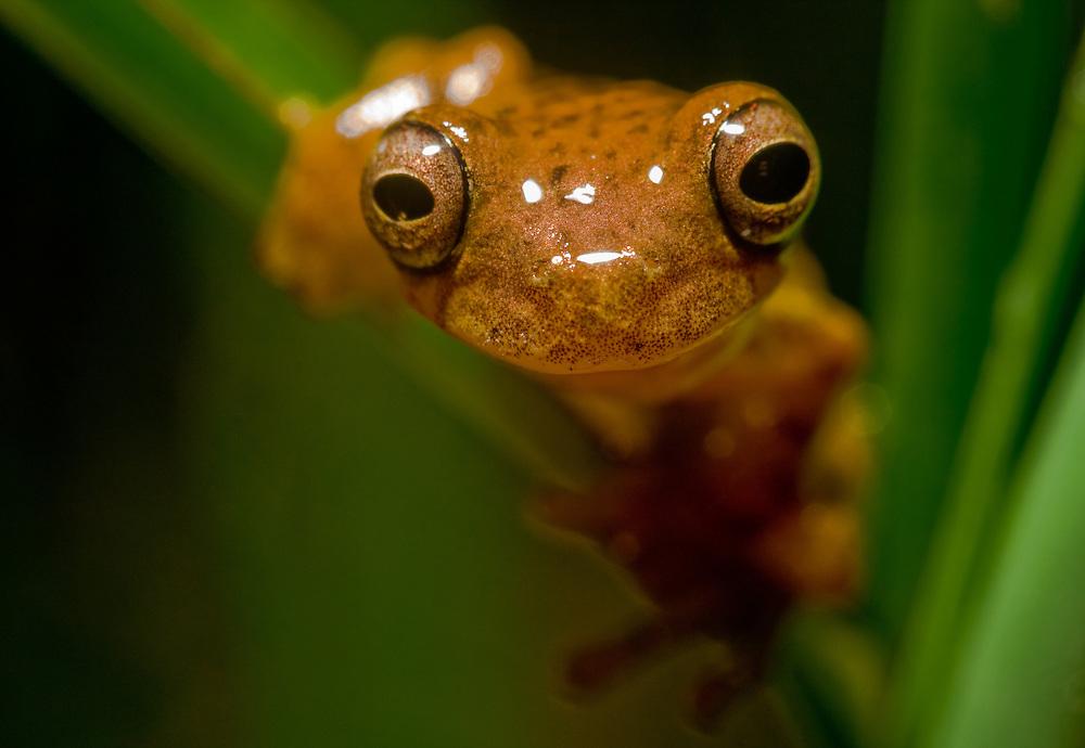 Treefrog in southern Ecuador - Dendropsophus minutus