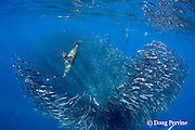 California sea lions, Zalophus californianus, and striped marlin feeding on mixed baitball of sardines and Pacific chub mackerel or green mackerel Scomber japonicus, off Baja California, Mexico ( Eastern Pacific Ocean )