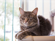 Tom is a 1 year old neutered DSH cat.  He was surrendered on September 6th.