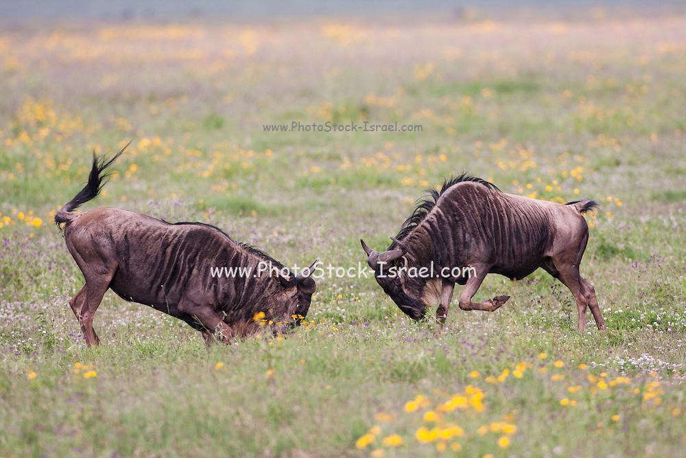 two male Blue Wildebeest (Connochaetes taurinus) locking horns . Photographed in Serengeti, Tanzania