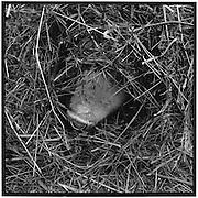 Pig nose looking through hay stake; die Nase eines Schweins lugt durchs Heu, le nez d'un cochon curieux dans un tas de foin