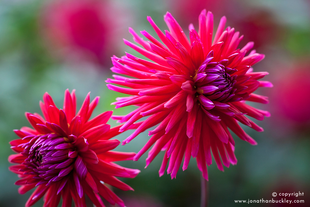 Dahlia 'Weston Pirate' AGM